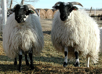 Sugar & Spice - twin ewes